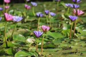 Lotus Dreaming Poem by Tory